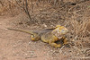 Land Iguana at Dragon Hill~northern end of Santa Cruz Island
