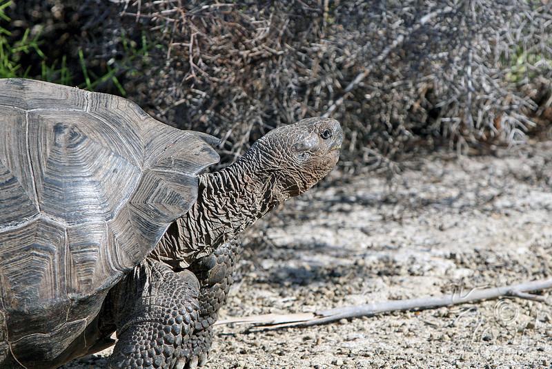 Galapagos Giant Tortoise close-up on Isabela Island