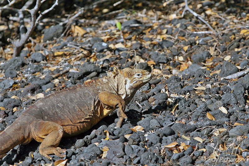 Land Iguana on Isabela Island