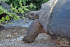 Galapagos Giant Tortoise on Isabela Island