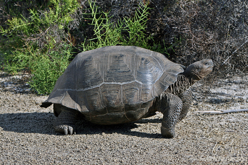 Galapagos Giant Tortoise walking on Isabela Island