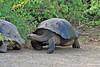 Galapagos Giant Tortoises on Isabela Island