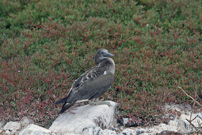 Blue-footed Booby Juvenile on North Seymour Island