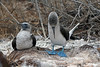 Blue-footed Booby Dance~studying feet!