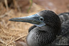 Head of Blue-footed Booby juvenile