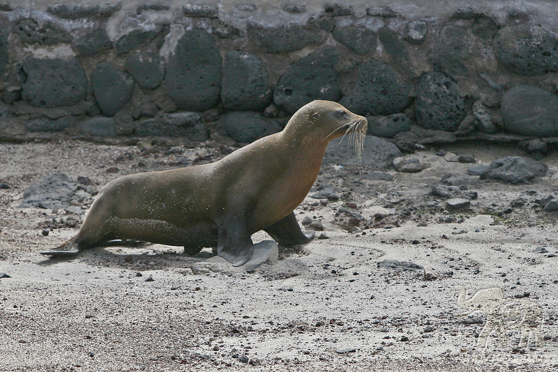 Sea Lion walking