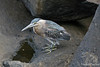 Galapagos Lava Heron~San Cristobal Island