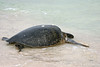 Pacific Green Sea Turtle at Bachas Beach