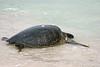 Pacific Green Sea Turtle at Bachas Beach