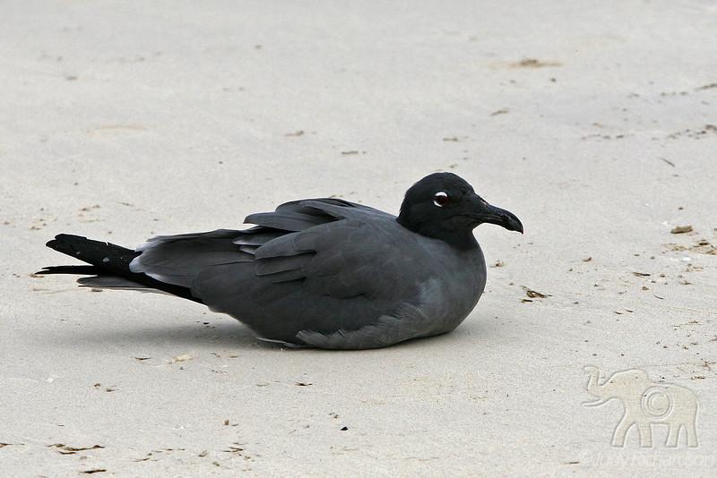 Lava Gull at Bachas Beach