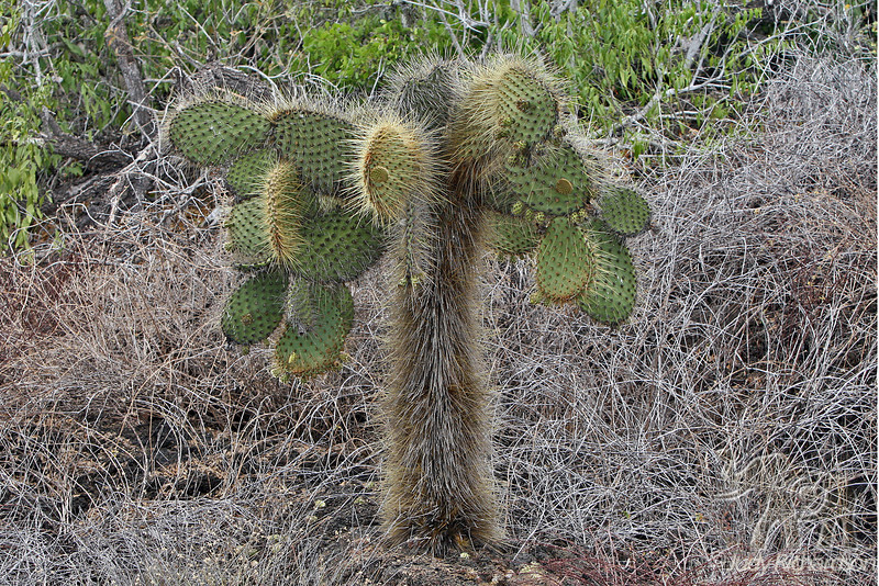 Cactus with hairy Spines at Bachas Beach