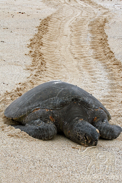 Green Sea Turtle after laying eggs and missing tide~Bachas Beach