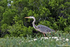 Great Blue Heron at Bachas Beach~Santa Cruz Island
