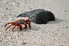 Sally Lightfoot Crab at Bachas Beach on Santa Cruz Island
