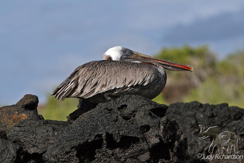 Pelican at Bachas Beach~Santa Cruz Island