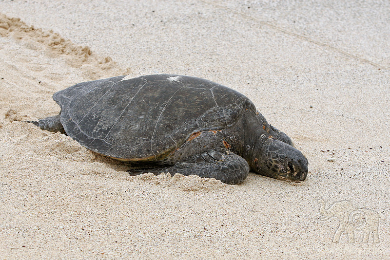 Green Sea Turtle missing tide~Bachas Beach