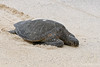 Green Sea Turtle missing tide~Bachas Beach