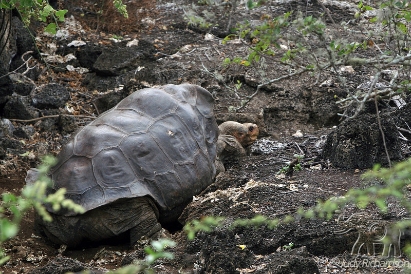 Lonesome George~a Giant Tortoise~waking up at Darwin Center