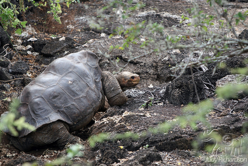 Lonesome George~a Giant Tortoise~crawling at Darwin Center