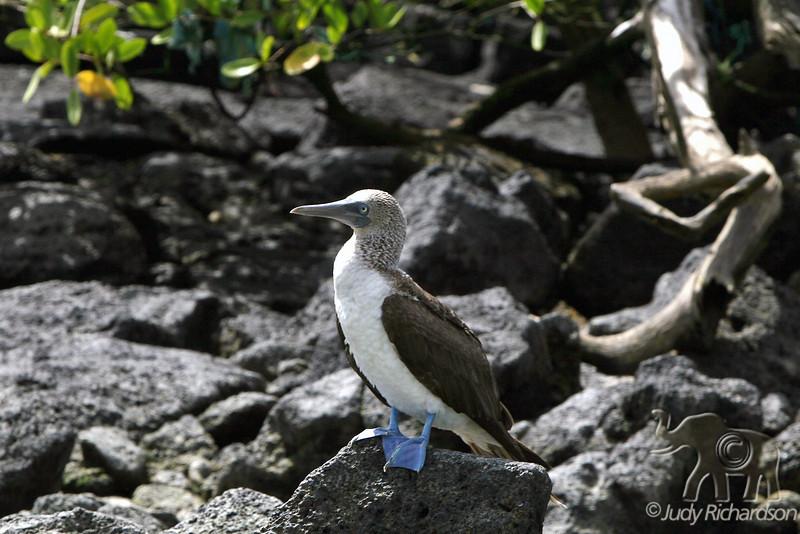 Blue-footed Booby at Puerto Ayora~Santa Cruz