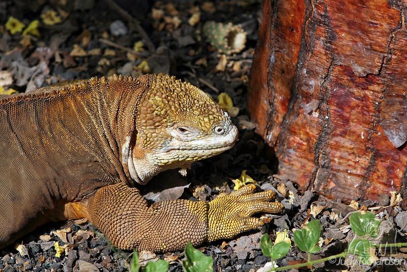 Land Iguana close-up at Darwin Center