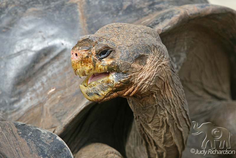 Giant Tortoise after drink at Darwin Center