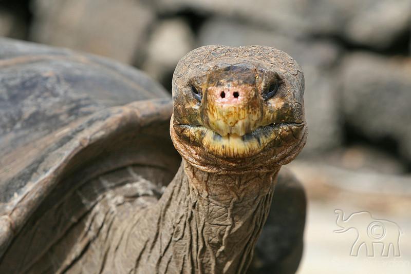 Giant Tortoise at Darwin Center