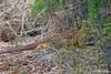 Land Iguana hiding on Santa Cruz Island~Dragon Hill