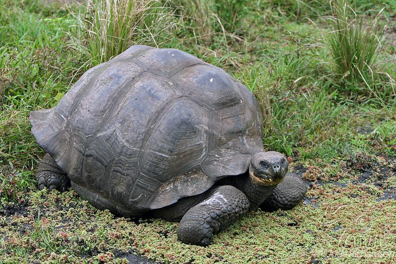 Giant Tortoise in Santa Cruz Highlands