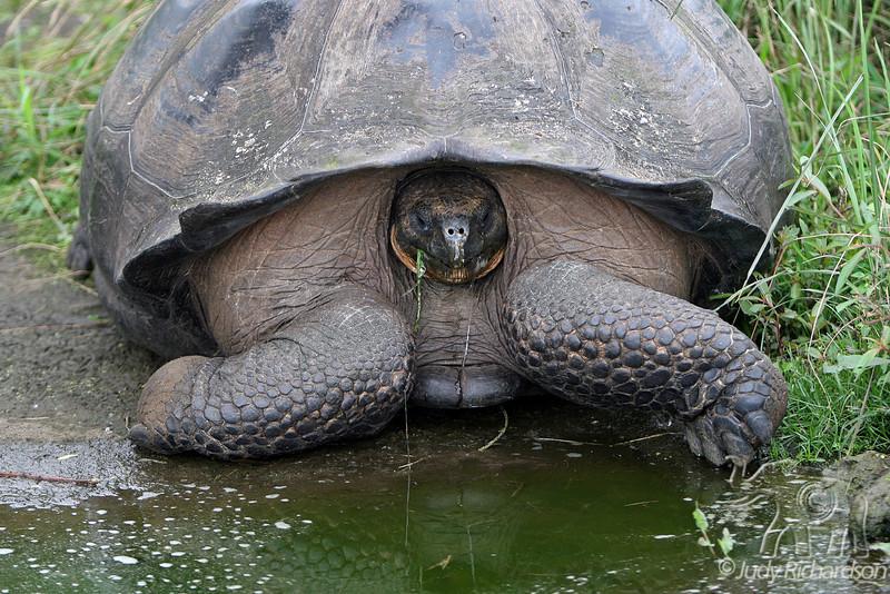 Giant Tortoise in Santa Cruz Highlands 30D