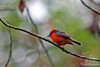 Vermillion Flycatcher in Santa Cruz Highlands