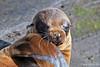 Baby Sea Lion~Puerto Egas~Santiago Island