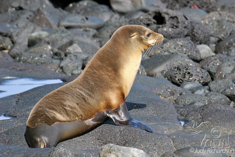 Sea Lion on Santiago Island