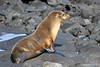 Sea Lion on Santiago Island