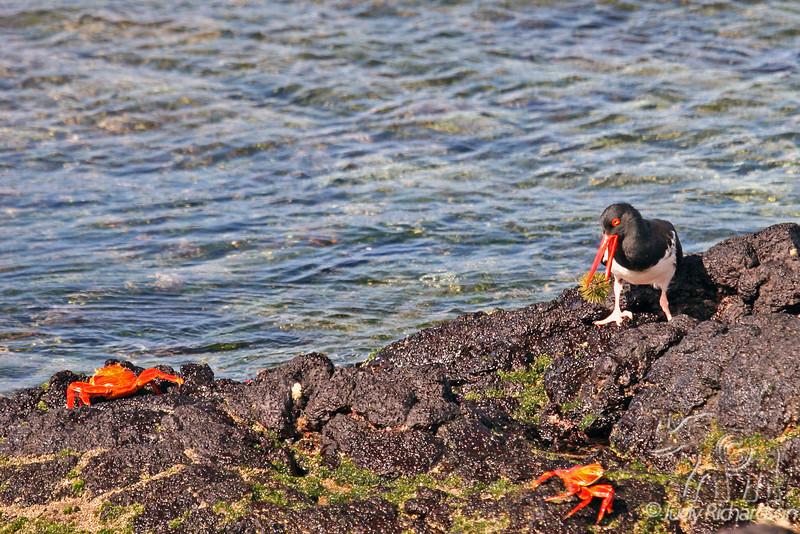 Oystercatcher with sea urchin on Santiago Island