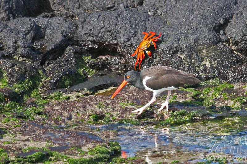 Oystercatcher & Sally Lightfoot Crab on Santiago Island