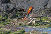 Oystercatcher & Sally Lightfoot Crab on Santiago Island