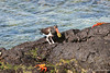 Oystercatcher with sea urchin on Santiago Island