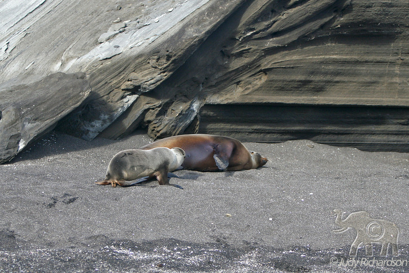 Sea Lion with new pup nursing on Santiago Island