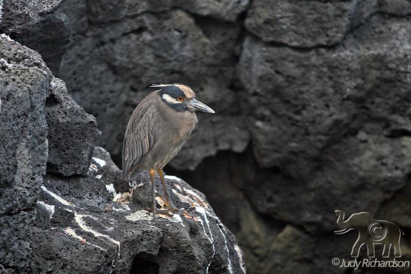 Yellow-crowned Night Heron on Santiago Island