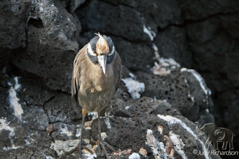 Yellow-crowned Night Heron on Santiago Island