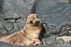 Baby Seal Lion on Santiago Island