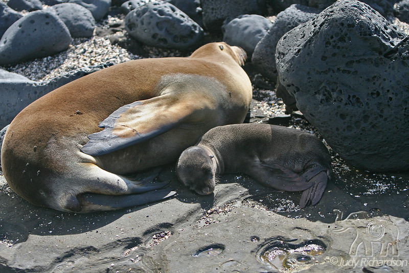 Sea Lion with new pup on Santiago Island 30D