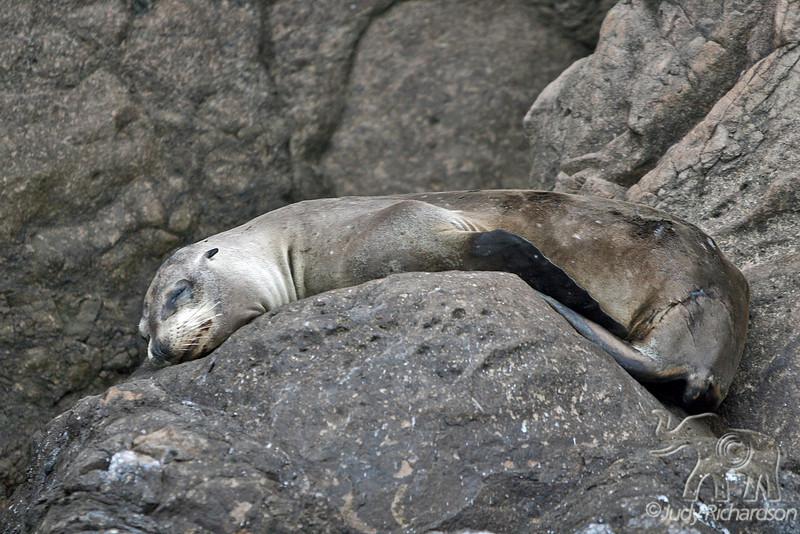Lazy Sea Lion on Kicker rock