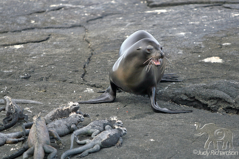 Sea lion mama calling pup on Fernandina Island with Sea Iguana in foreground