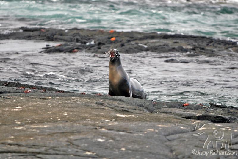 Sea Lion mama calling pup on Fernandina Island