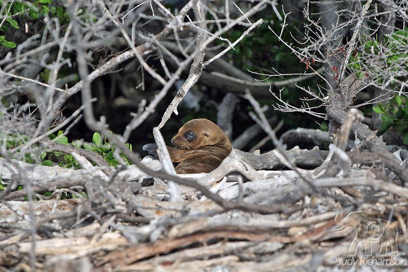 Sea Lion pup waiting for mama on Fernandina Island