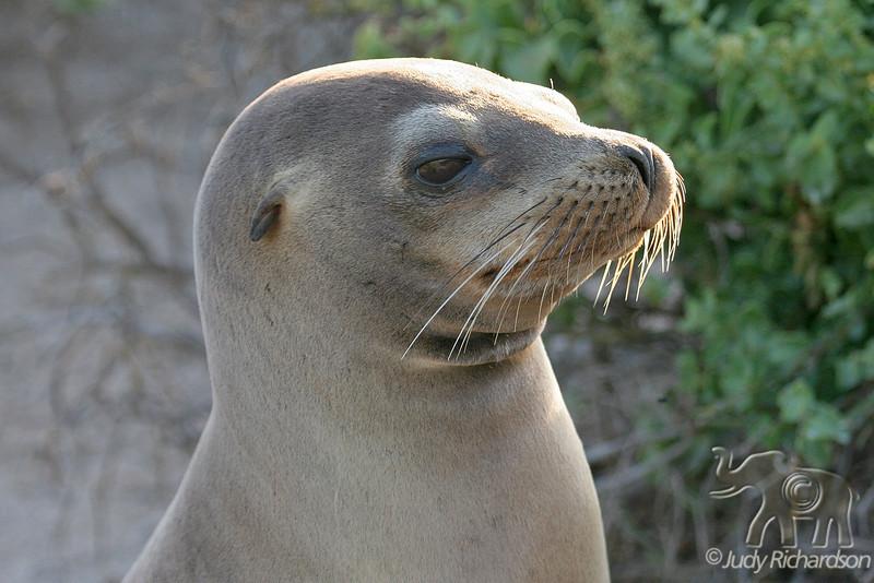 Profile of Sea Lion on Española Island in Galapagos