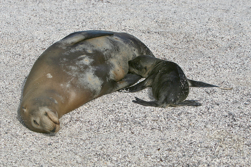 Pup nursing on Española Island in November shortly after birth