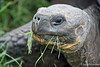 Giant Tortoise eating grass at highlands on Santa Cruz Island~Galapagos, Ecuador